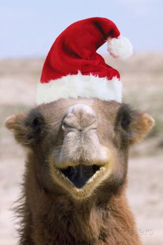 bactrian-camel-wearing-christmas-hat.jpg